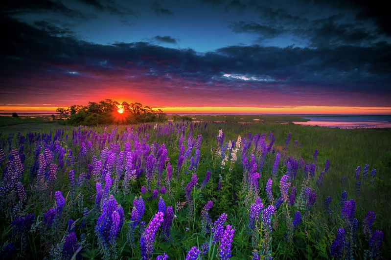 field-of-lupines-at-sunrise-dapixara-cape-cod-photography.jpg