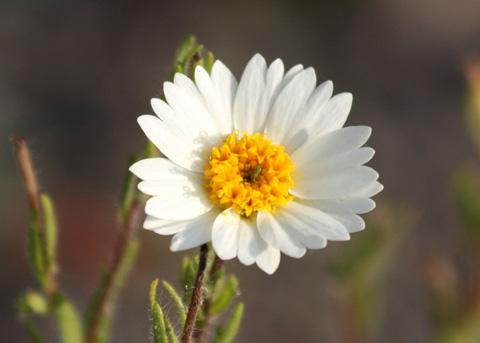 Tidy Tips, White (Layia glandulosa) SJWS 4-11-09 153.jpg