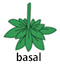basal new 2.jpg