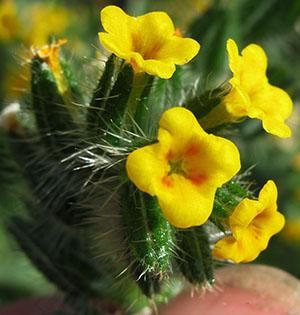 lycopsoides2a.jpg