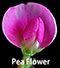 pea flower new.jpg